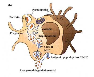 Index of /~johnb/micro/micro161/innate_immunity