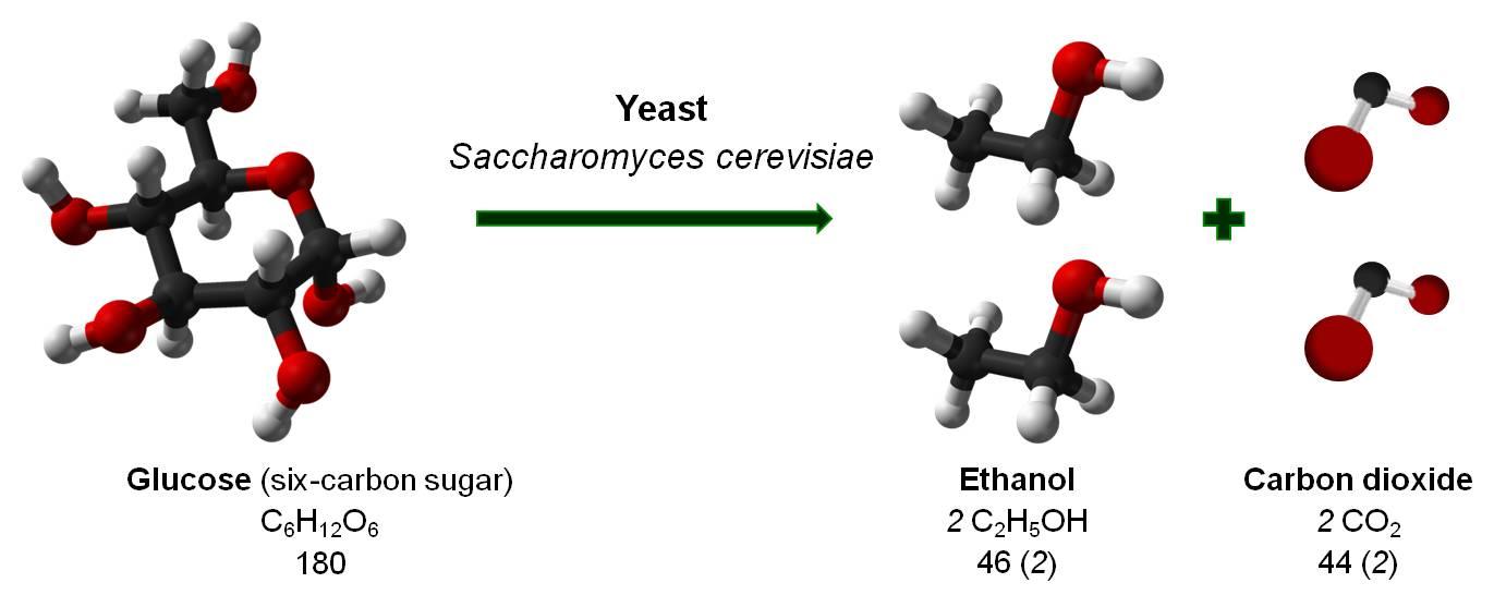 bio fuels of yeast fermentation essay